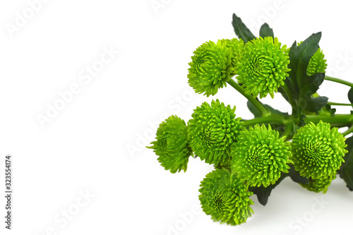 Canvas Print Green chrysanthemum flowers isolated on white background