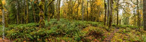 Panorama of Lush Tempoerate Rainforest Canvas-taulu