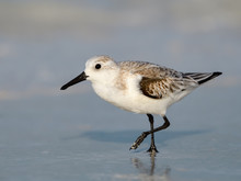 Sanderling Foraging On The Beach