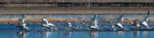 Flock Of Swans Taking Off From Water In Flight Swan Flying