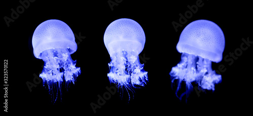 Small jellyfish or medusa of bright colorful. Poster Mural XXL
