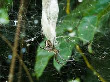 A Large Golden Orb Spider In I...