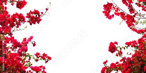 Fotografia Red Bougainvillea flower on white background.