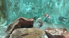 Colorful Carp Fishes Swimming In Aquarium Of Fishe Market
