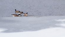 Geese In Partially Frozen Water