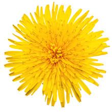 Yellow Dandelion Isolated Top ...
