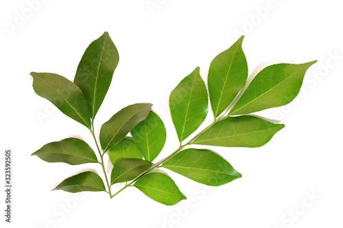 Fototapeta Green leaf isolated on white background obraz na płótnie