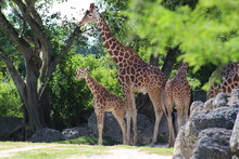 Group Of Giraffes Standing In The Trees