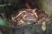 Brown Chaco Frog