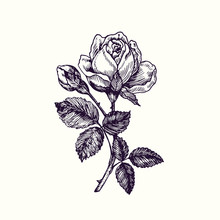 Rose Flower, Stem With Thorns, Leaves And Blosom, Hand Drawn Doodle, Drawing In Gravure Style, Sketch Illustration, Design Element
