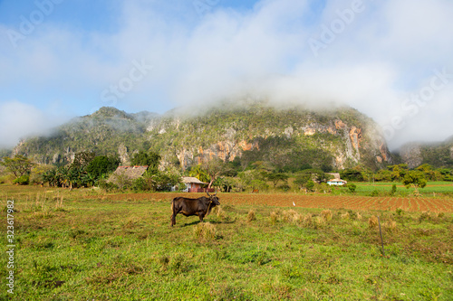 Cattle seen in profile in a field at the bottom of the Vinales Valley, with a ka Canvas Print