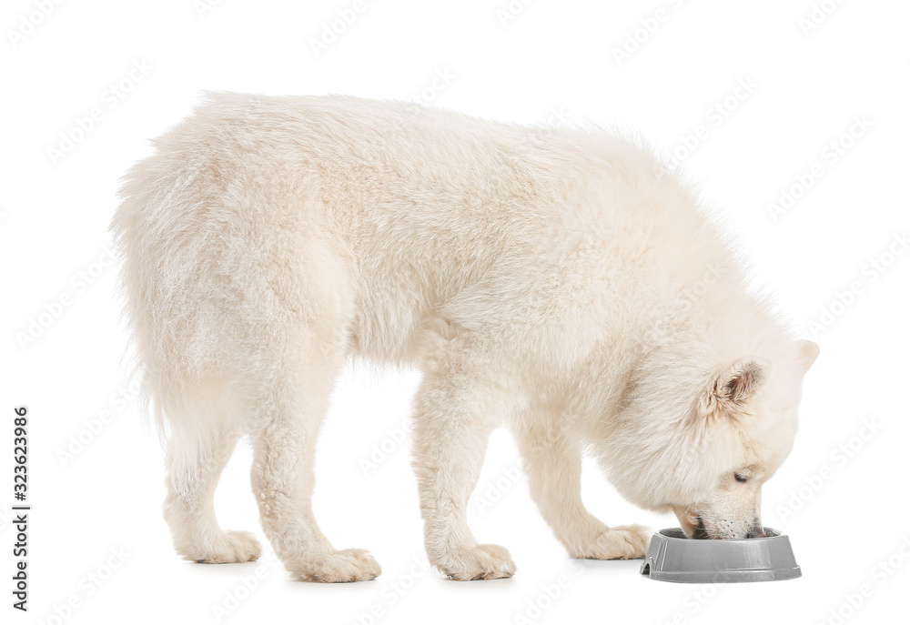 Cute Samoyed dog eating food from bowl on white background