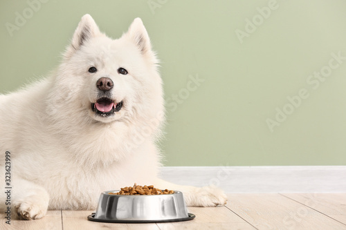 Fototapeta Cute Samoyed dog and bowl with food near color wall obraz