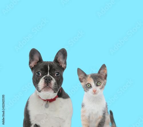 Fényképezés Dutiful French Bulldog and curious Metis cat cub looking forward