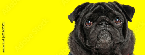shocked black pug looking funny Canvas