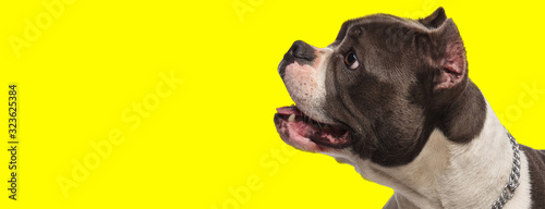 Photo happy american bully dog looks to side and panting with mouth open in awe