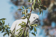 Sulphur-crested Cockatoo Eatin...