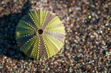 Shell Of A Green Sea Urchin Resting In Fine Pebble Sand On A Beach In The Galapagos Islands