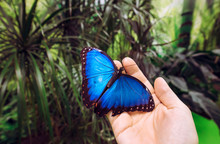 Person Holding Landed Morpho Peleides, The Peleides Blue Morpho, Common Morpho Or The Emperor Butterfly On Finger In Insectarium.