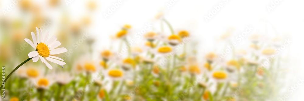 Fototapeta Daisy field on white background, panoramic spring web banner