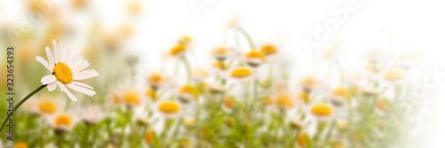 Fotografie, Obraz Daisy field on white background, panoramic spring web banner