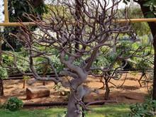 Ficus Salicifolia Tress In Garden