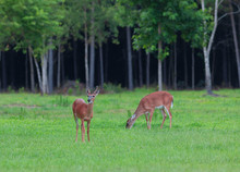 Whitetail Deer Couple On A Field