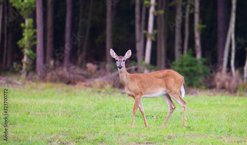 Fényképezés Whitetail doe near Raeford North Carolina