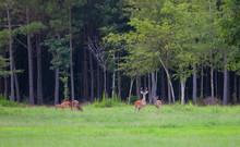 Deer Herd In North Carolina