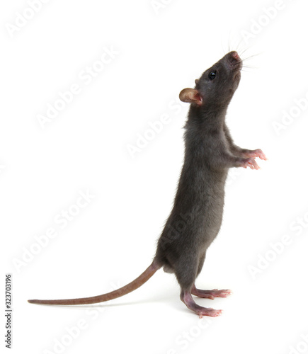 Rat standing on hind legs on white Canvas Print