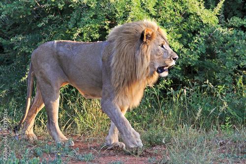 Male lion walking Wallpaper Mural