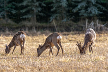 Group Of European Roe Deer Gra...