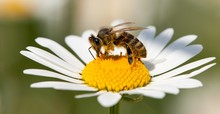 Bee Or Honeybee On White Flowe...