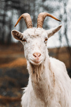 Close-up Portrait Of White Adult Goat Grassing Meadow Field At Village Countryside