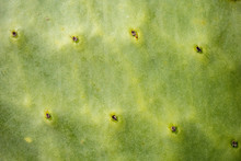 Closeup Of Prickly Pear Leaf With Thorns And Green Background. Natural Pattern