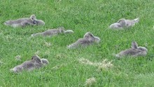 Canada Geese Sub Adults Restin...