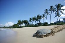 Sea Turtle Returning To The Sea