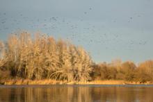 Great Cormorant (Phalacrocorax...