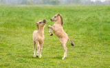 Two cute dun colored Konik foals playing and rearing, they are part of a free-range herd of the Polish primitive horse breed live in nature reserve De Rug, Roosteren, Netherlands