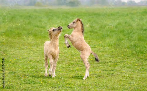 Fotografie, Obraz Two cute dun colored Konik foals playing and rearing, they are part of a free-r