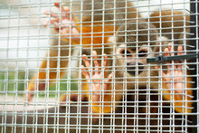 Squirrel Monkey In A Cage. Lit...