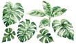 canvas print picture - set of watercolor tropical leaves on white background. Green palm leaves, monster, homeplants, banana leaves. Exotic plants. Jungle botanical watercolor illustrations, floral elements.