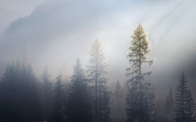 Larches Wrapped In Fog With Th...