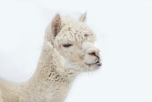 Cute Alpaca Portrait On White Background