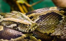 Big Snake Anaconda Close Up