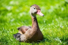 Black Duck Sitting On The Gree...