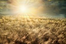 Wheat Field, Cloudy Landscape ...