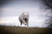 White Swiss Shepherd Dog, Who Is Running In Front Of Forest. Photo In Nature Outdoor Museum.