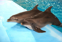 A Pair Of Dolphins In Dolphina...