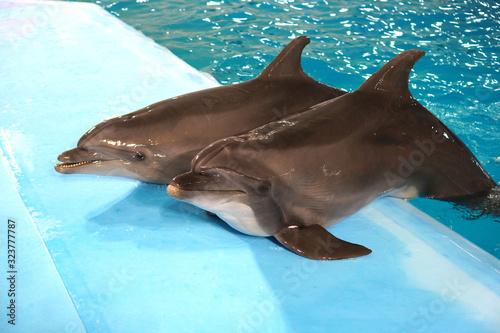 A pair of dolphins in dolphinarium pool Tapéta, Fotótapéta